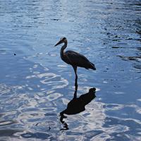 鶴岡八幡宮の沼のツル